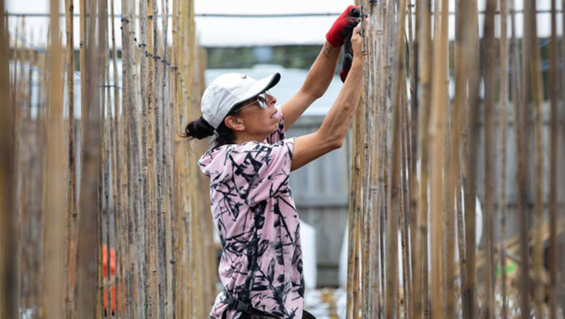 Woman fixing a bamboo fence.