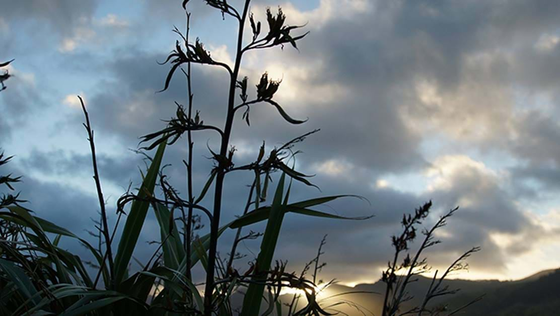 Flax bush seen against a backdrop of cloudy sky.